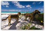 Club Med Beach Dogs